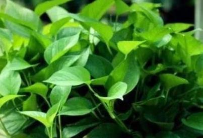 绿色植物除甲醛