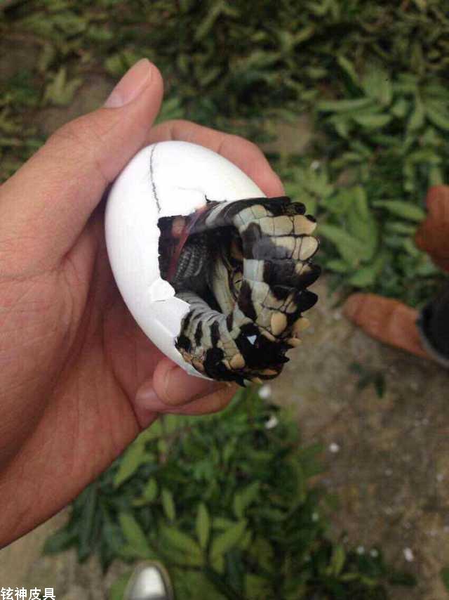 鳄鱼蛋如何孵化