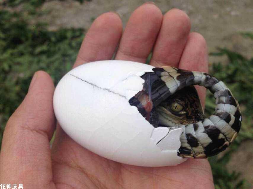 鳄鱼蛋人工如何孵化