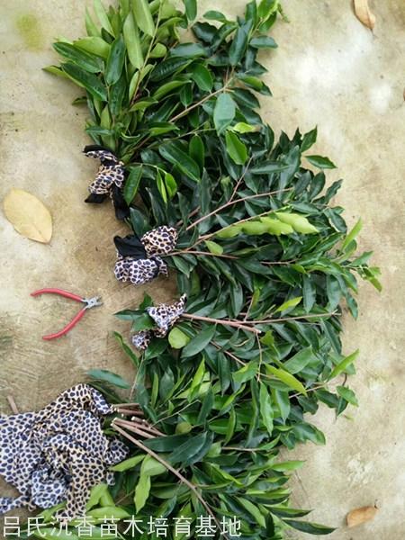 一斤奇楠枝条图片