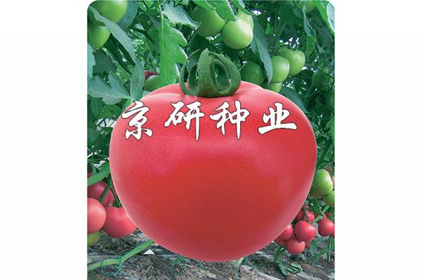 仙客8号番茄种子|抗根结线虫病番茄种子 西红柿种子 京研益农