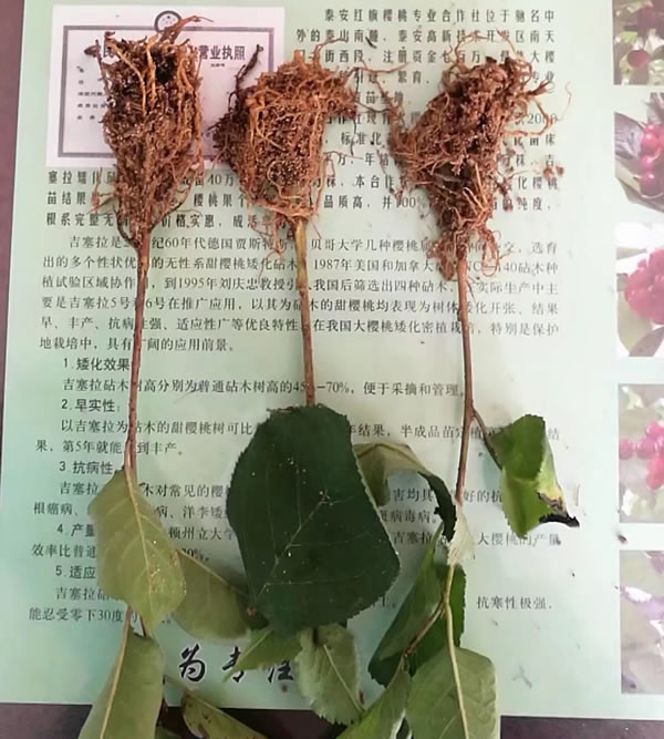 吉塞拉大櫻桃苗