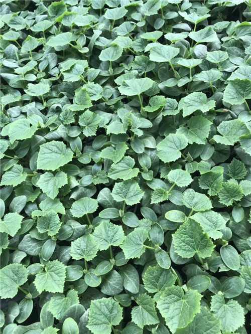 蔬菜种苗基地,常年批发茄子嫁接苗