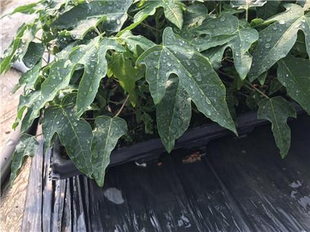 水果木瓜种苗