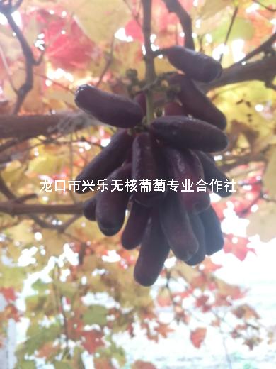 合作社自产优质葡萄