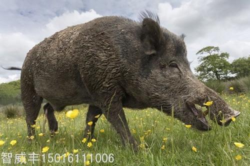 遇到野豬怎麽辦